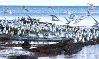 Seabirds, Whiting Bay