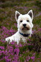 Hector in the Heather